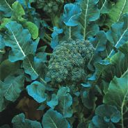 Broccoli Calabrese Di Cicco - Appx 500 seeds